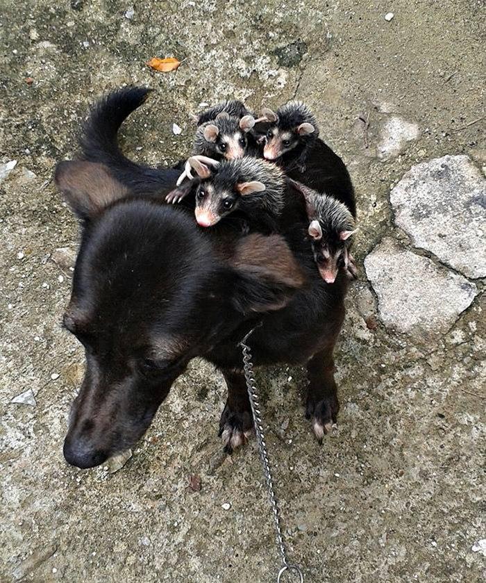 Собака приютила осиротевших маленьких опоссумов и катает их на себе.После того, как мать этих ...