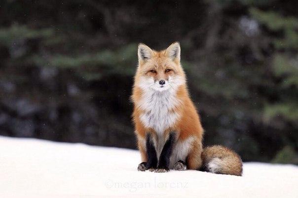 Пост обожания лис! Невозможная милота - 3