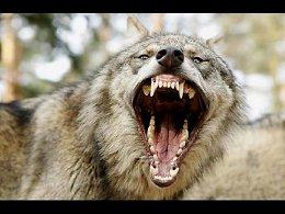 Животные Людоеды Волки