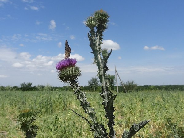 рации полевые растения ставропольского края фото также