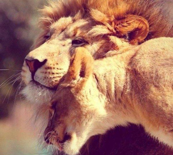 Открытки моему львенку