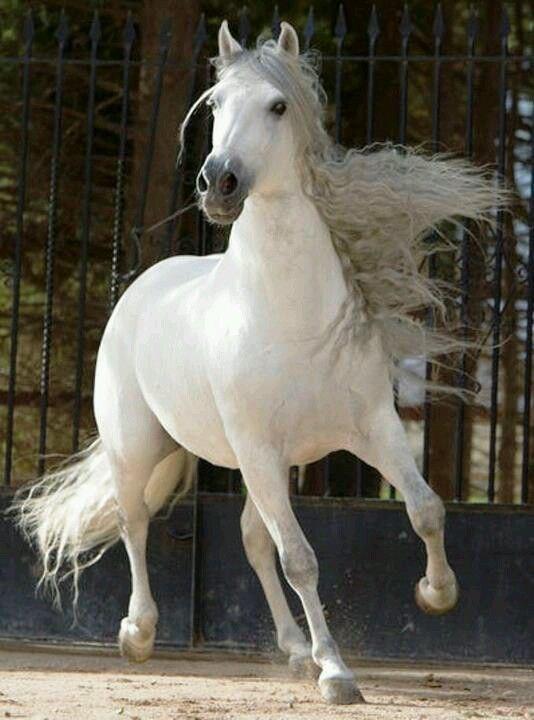 Магическая красота андалузских лошадей - 9
