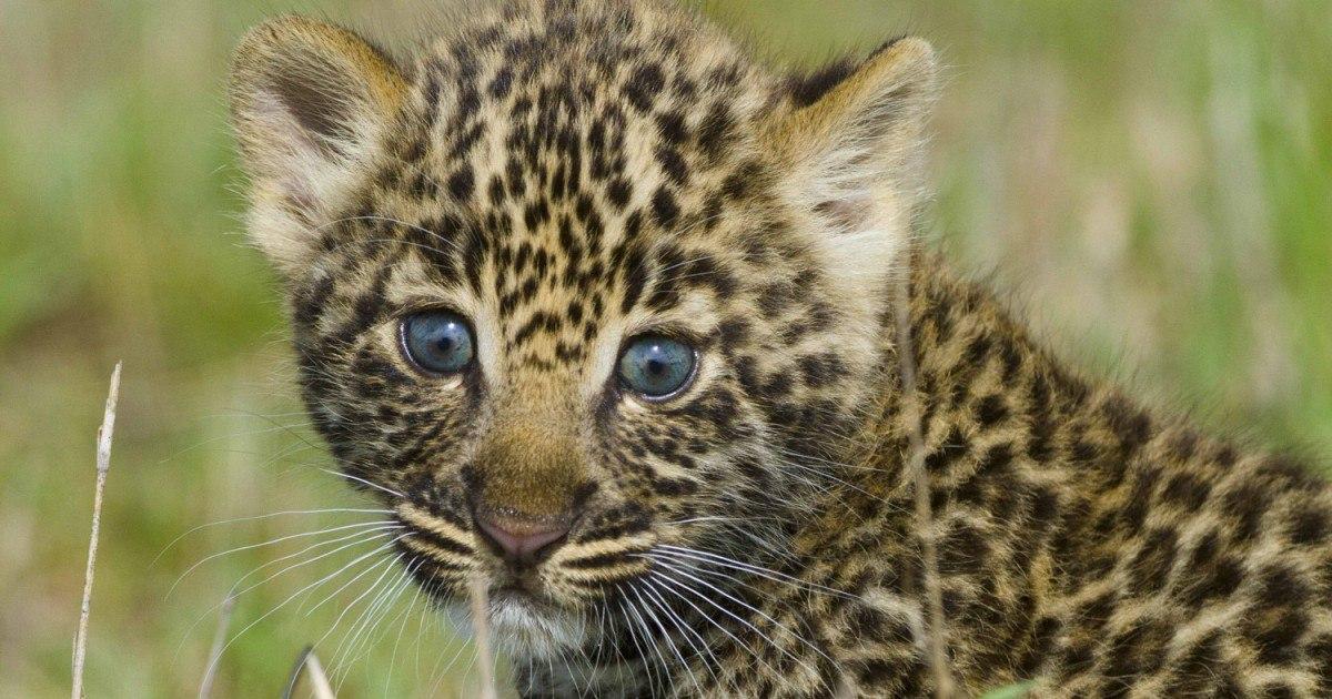 Фото котят леопарда