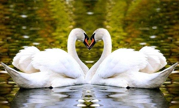 Позитивом, картинки белые лебеди