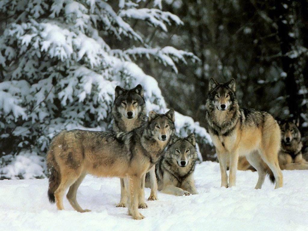 фото а волк раскачивается на одних труссиках фото этого