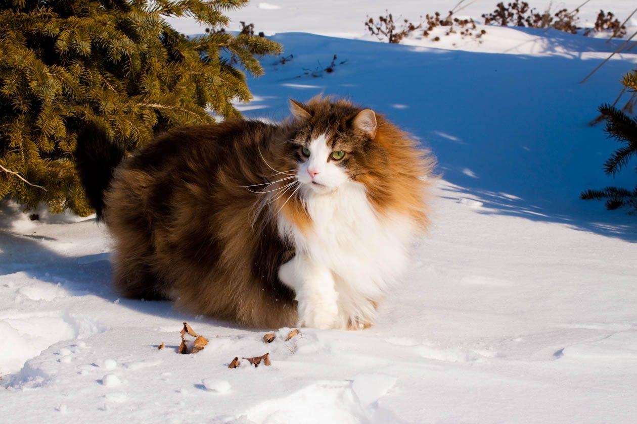там зарабатывать лесная сибирская кошка фото пружина