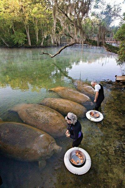 В водах Амазонии обитают не только пираньи и анаконды, но и потрясающие водные млекопитающие — ...